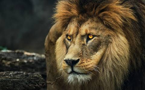 Lion Escapes From Cage In Nigerian Zoo, Residents Live In Fear | Sahara Reporters
